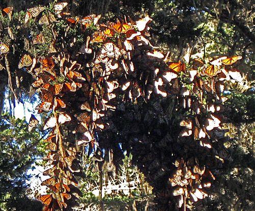 Butterflies_on_the_vine