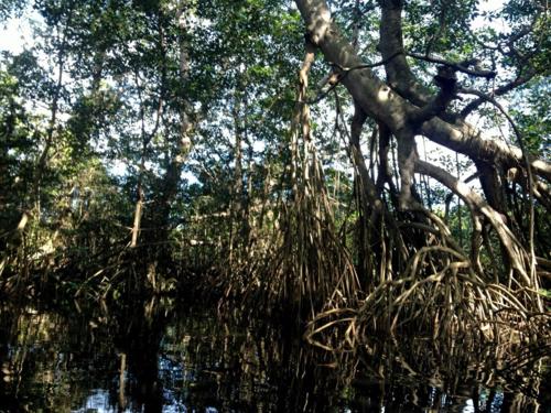 Mangrove trees in Cacao Lagoon, La Ceiba, Honduras