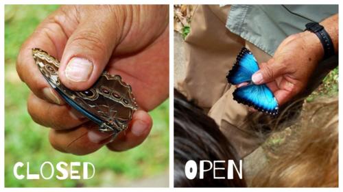 Blue Morpho Butterfly at Pico Bonito, La Ceiba, Honduras