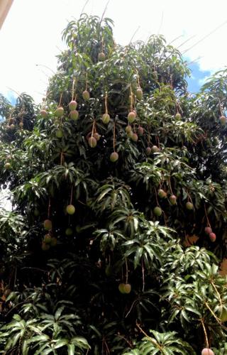 Mango tree in Tegucigalpa, Honduras