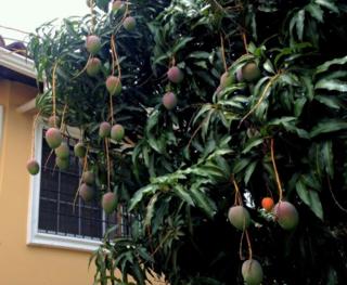 A mango tree in Tegucigalpa, Honduras
