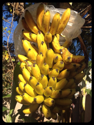 Bunch of Bananas Hanging in a Tree