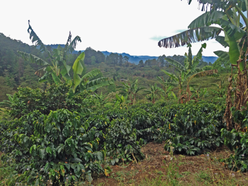 Coffee plants in Marcala, Honduras.