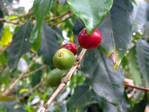 Fruit of the coffee plants in Marcala, Honduras