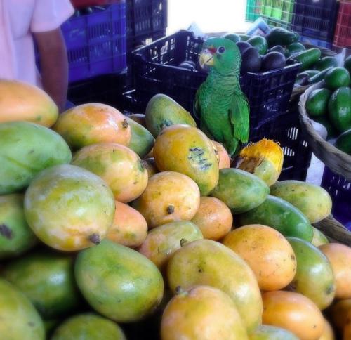 Parrot on a pile of mangos at the mercado market in Tegucigalpa, Honduras